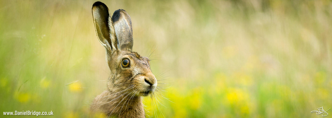 Brown Hare in Meadow