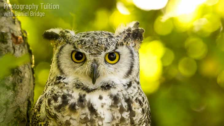 Nanook the Great Horned Owl.