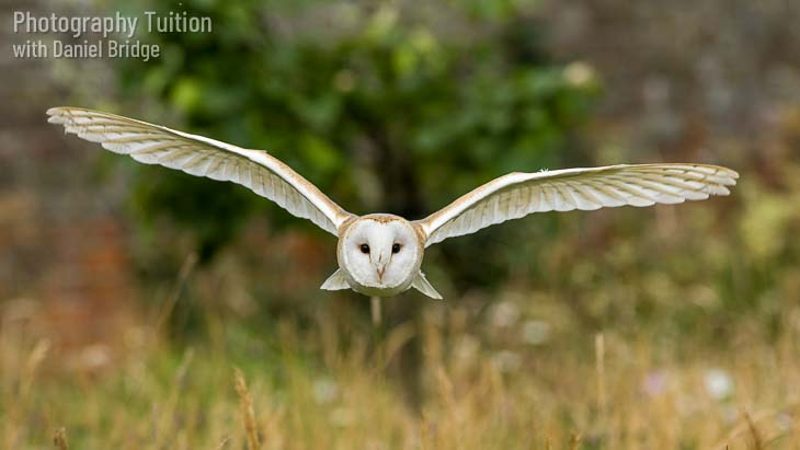 Toffee the Barn Owl flying in the Walled Garden at Cressing Temple Barns