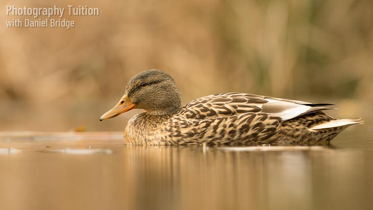 A duck on water, shot from low level, an example of the composition ideas discussed during the Composition and Light photography workshop.